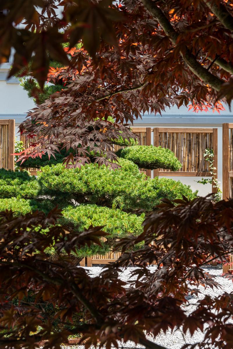 L'acero di origine giapponese crea ampie zone di ombreggiatura nel giardino.